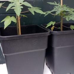 Papaja planten 4,00 per plant